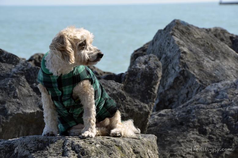 special needs dog adoption