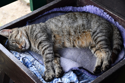tabby cat asleep in drawer