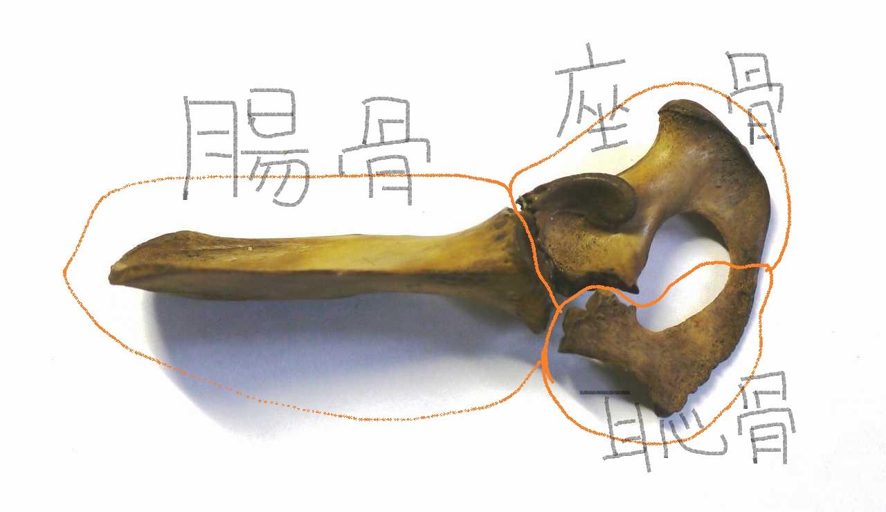 故有事: 寛骨は三つの骨から! Os coxae comprised of three bones!