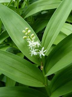Smilacine étoilée - Maianthemum stellatum