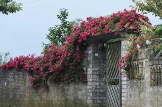 cây hoa tầm xuân đỏ