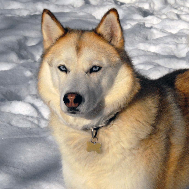 Siberian Husky Australian Dog Lover