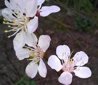 Kwiaty moreli fot. trinezie.pl