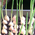 Stop Buying Garlic! Here's How To Grow An Endless Supply Of Garlic Right At Home