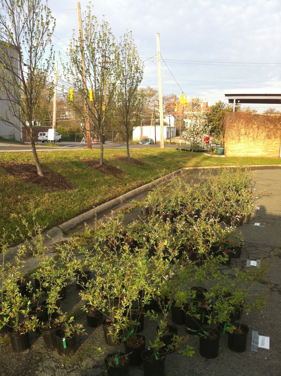 Finch Plants For And Pickup At Club Blvd Elementary S First Annual Blueberry Bush Fundraiser Held Two Weeks Ago