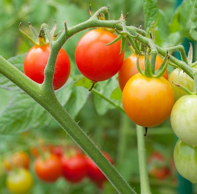 Soil For Tomatoes: #Gardening : When Should You Sow Tomato Seeds?