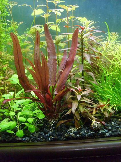 Cây biệt liên có màu đỏ bắt mắt trong hồ thủy sinh