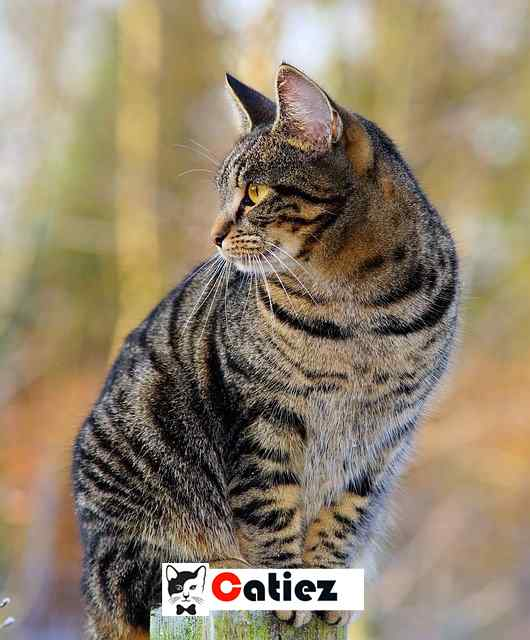 Chinese Li Hua cat Breed