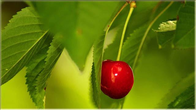 gambar wallpaper buah cherry merah