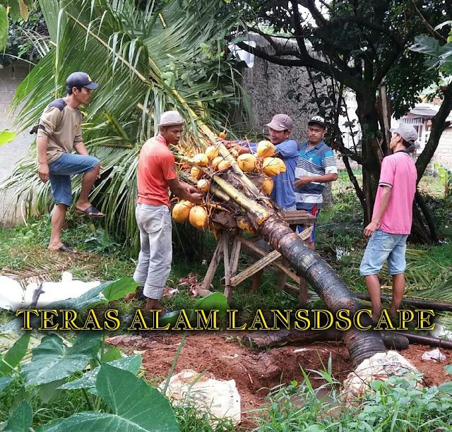 pohon kelapa gading