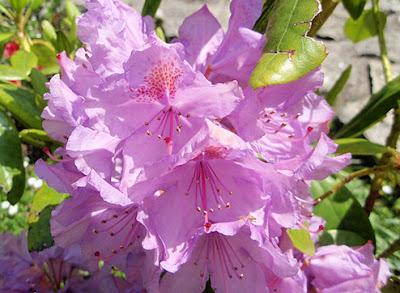 Rododendro color lila