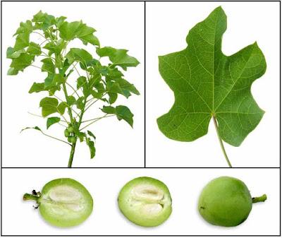 أوراق و ثمار الجاتروفا الخضراء