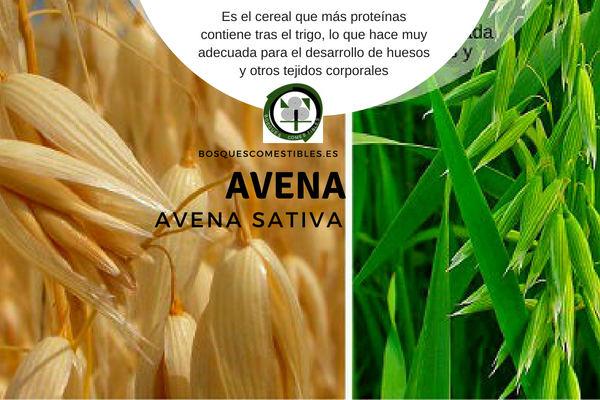 La avena, Avena sativa, es una gramínea anual que puede llegar a 1 m de altura.