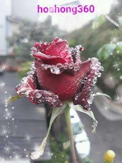 hoa hồng thủy tinh