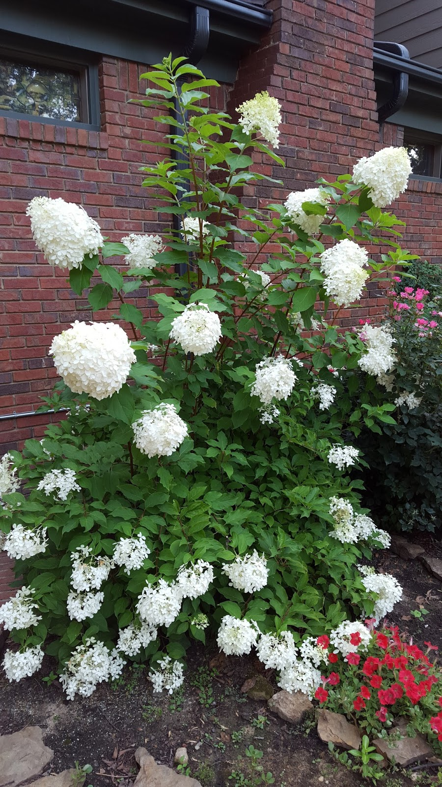 garden musings from memphis area master gardeners hydrangeas in the garden. Black Bedroom Furniture Sets. Home Design Ideas
