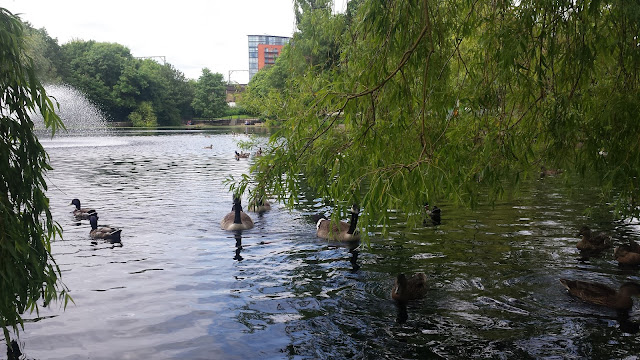 ducks in central park Chelmsford