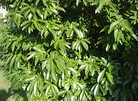 Laurel real (Prunus laurocerasus)