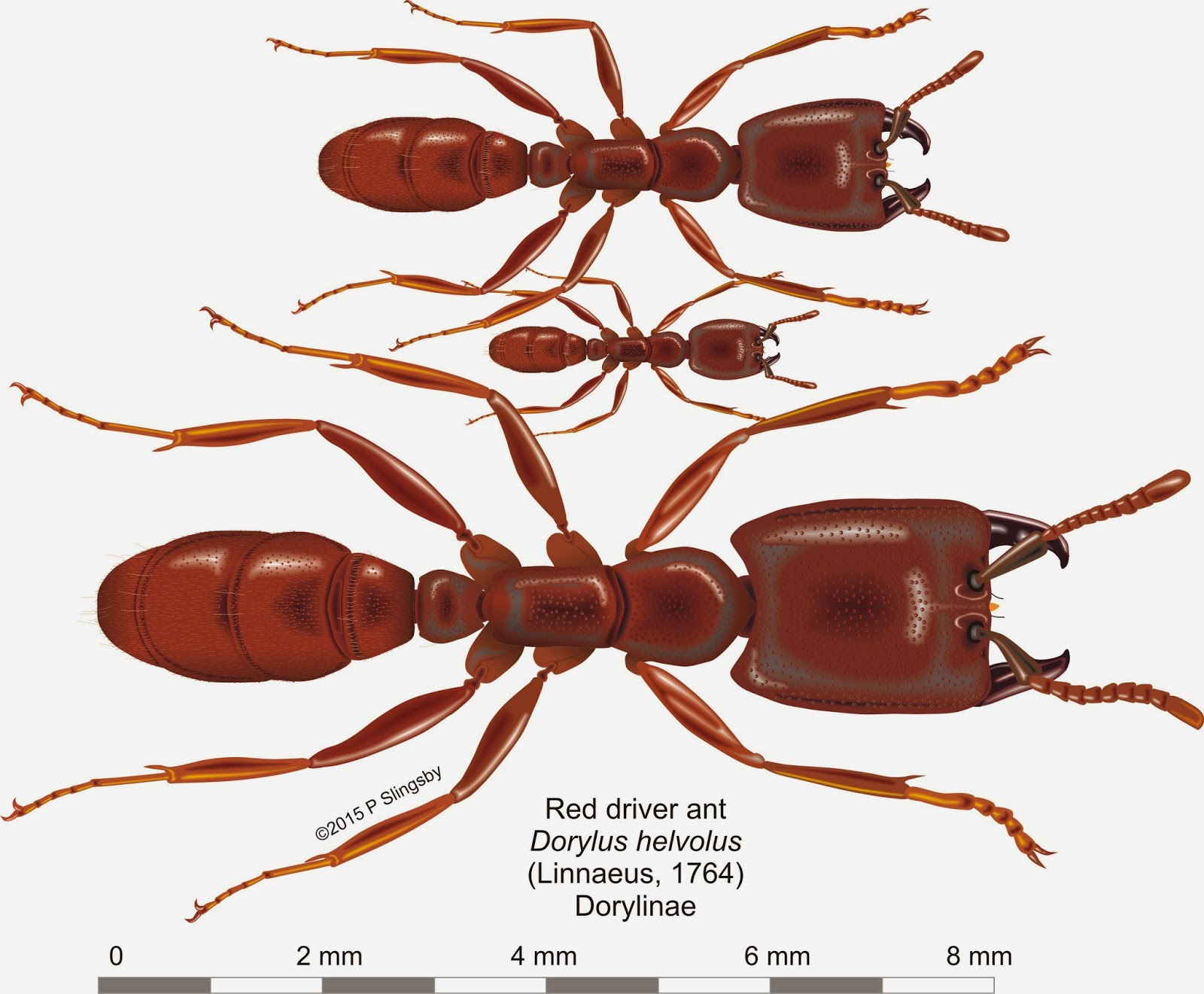 Queen Ant Actual Size - Ants of South...