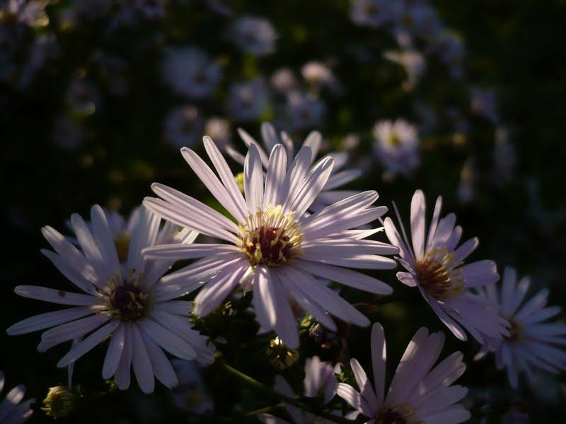 Allegria in giardino aster by delia furighedda gardening - Aster pianta ...