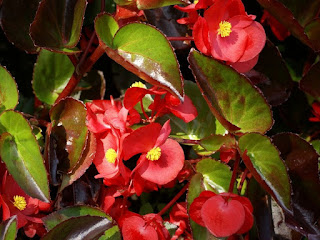 Begonia semperflorens. 'Big Green Leaf Red'
