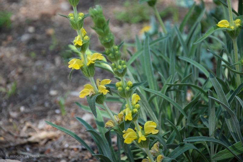 flores amarillas de phlomis