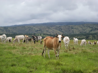 Satuan Ternak untuk menghitung lahan hijauan makan ternak HMT ruminansia
