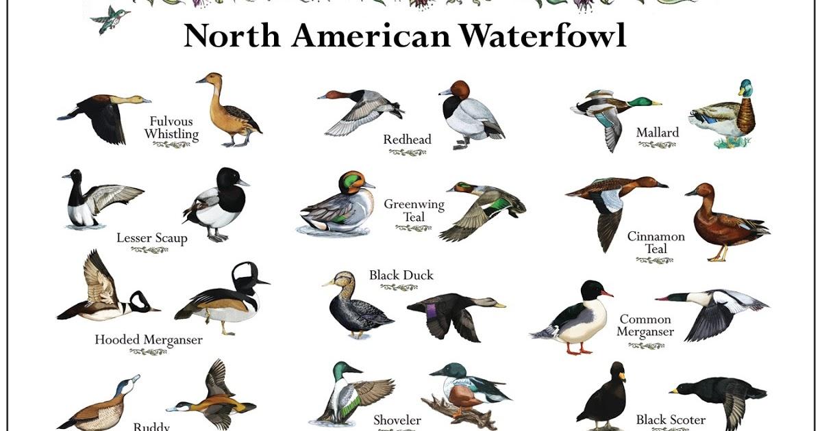 also bandygrass ducks the duck hunter   dilemma rh bandygrassspot