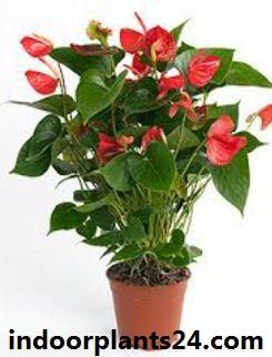 Flamingo Flower Plant - Anthurium Scherzerianum
