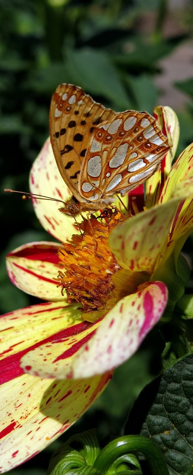 Butterfly on a dahlia flower.