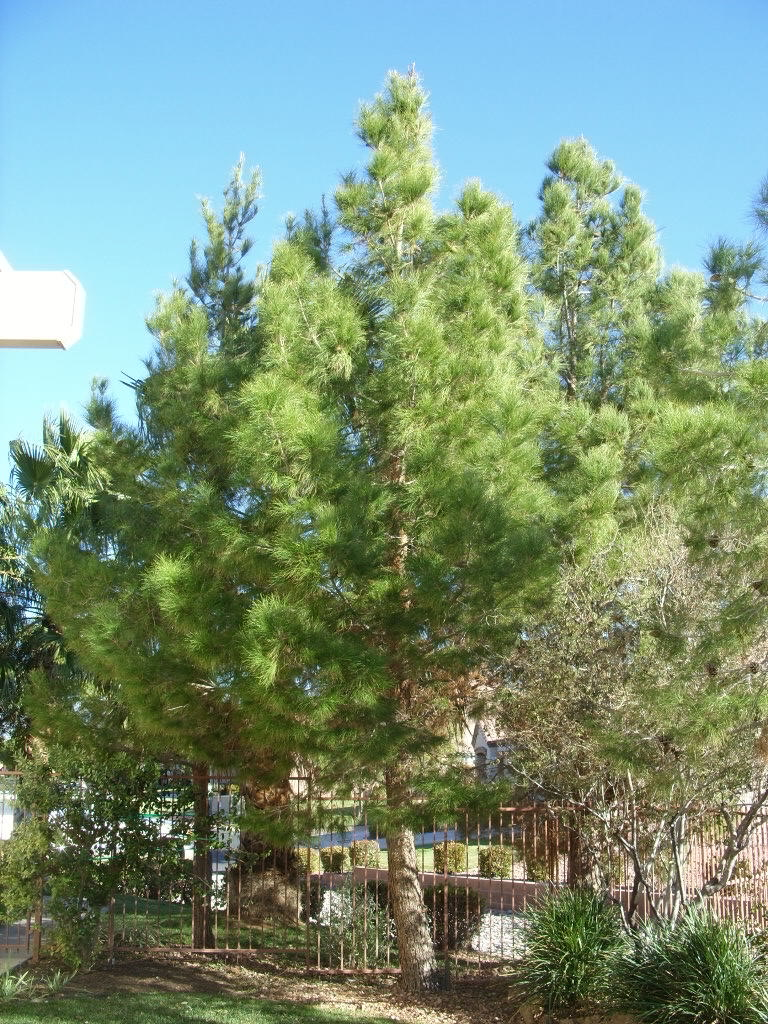 Pine Tree In Barcelona Transperfect: Xtremehorticulture Of The Desert: Why Is My Pine Tree So