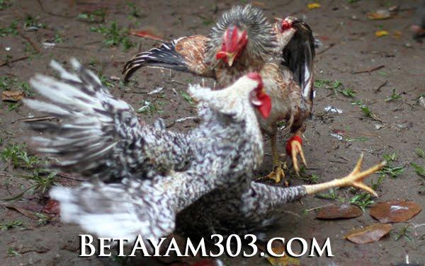 Cara Daftar S128 Judi Sabung Ayam Online Indonesia