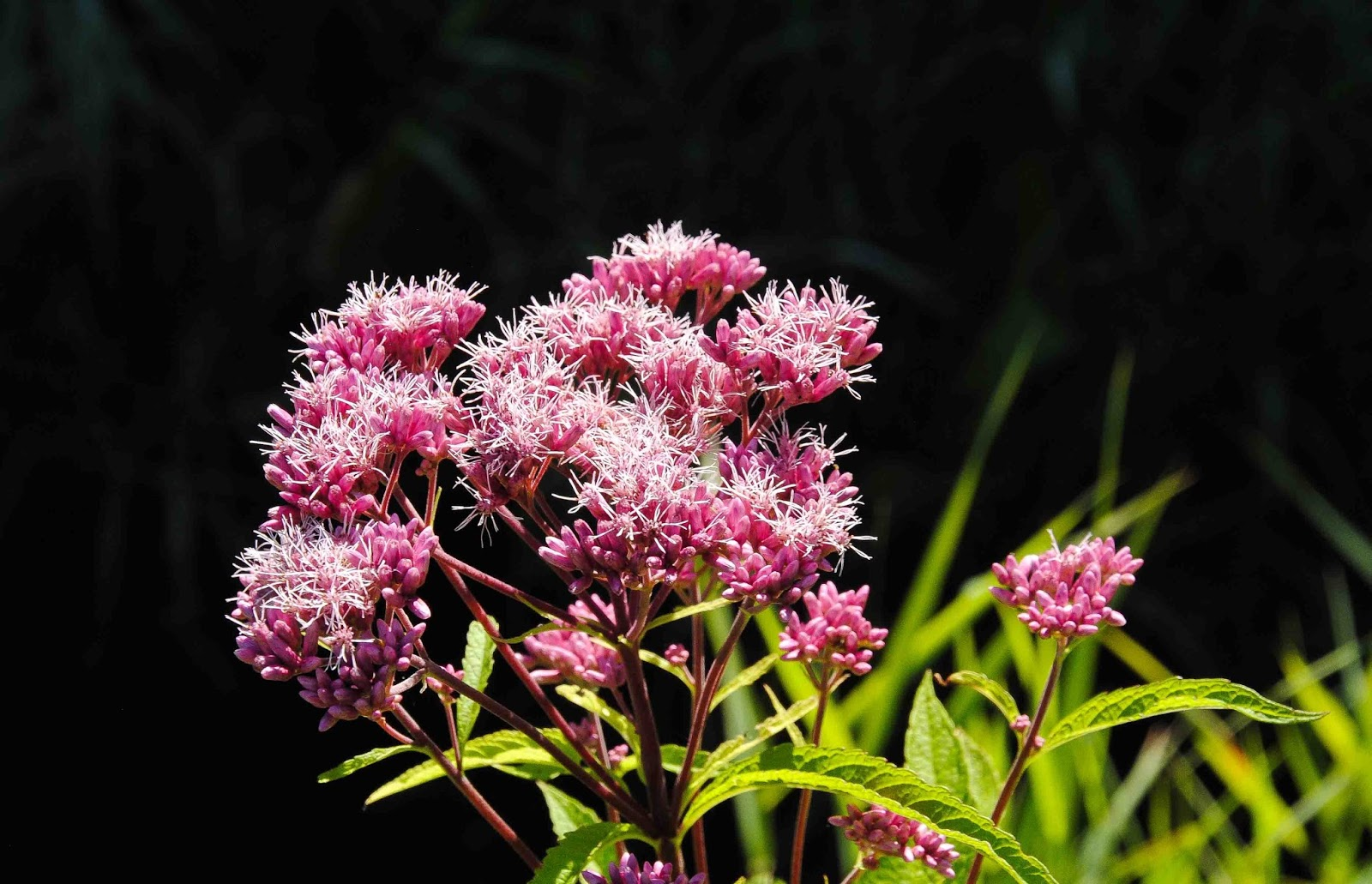 Seasons in the valley furry gnomes adventures august weeds of one of my other favourites at this time of year is joe pye weed which has very bright pink flowers and again i find this typically growing on the mightylinksfo