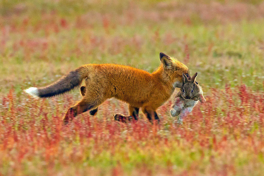 Photographer Captures Epic Battle Between Fox And Eagle Over Rabbit