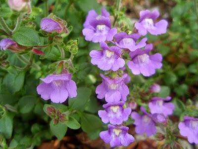 Flores moradas o lila de la becerrilla (Linaria origanifolium)