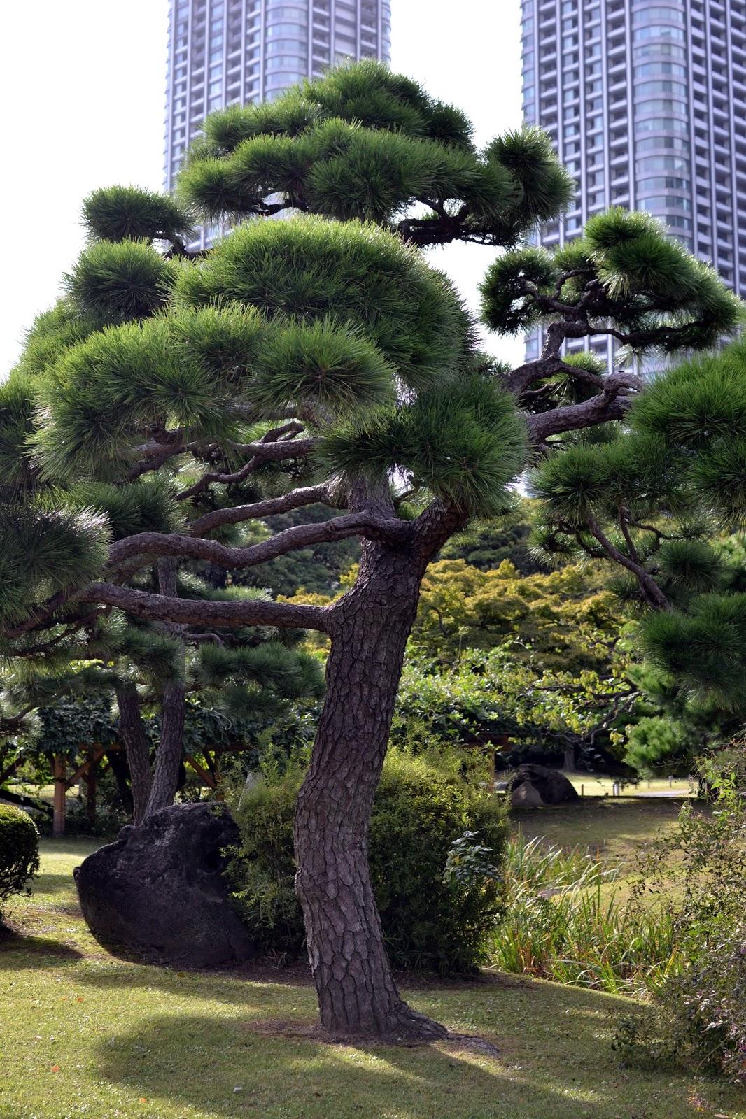 Japanese tree, Hama Rikyu gardens, Park, Nature, Tokyo, Japan, Must to Tokyo,