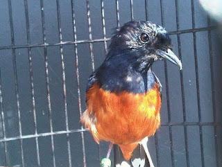 Manpaat Dan Harga Obat Burung Untuk Mengatasi Mabung Tidak Tuntas Terbaru Saat Ini Paling Lengkap