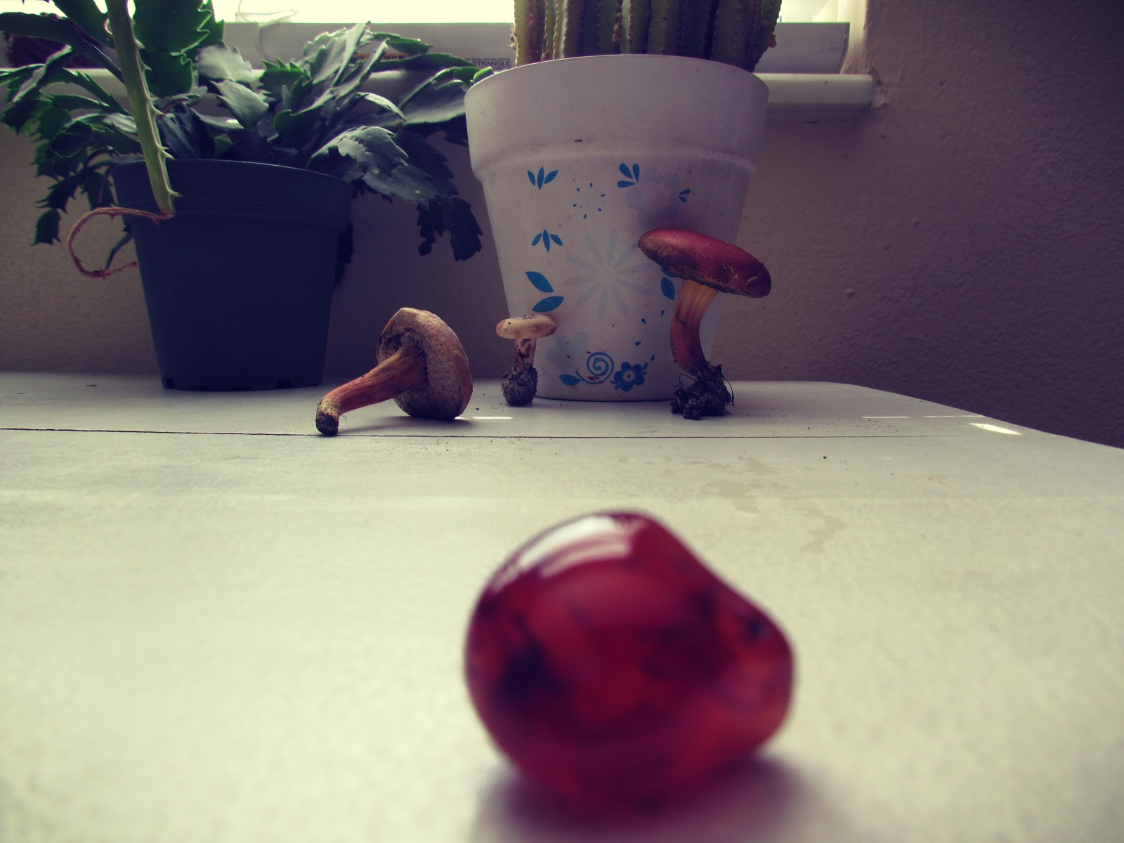 Christmas Cactus Plant, Living Mushrooms, and Red Agate Healing Stones on a White Table Desk