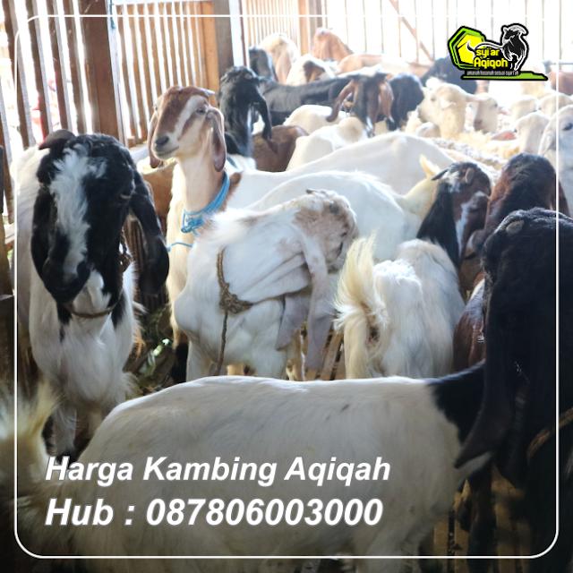 Harga Kambing Aqiqah Hub 087806003000