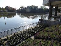 市民の森(鏡伝池緑地)11月の睡蓮とハナショウブ