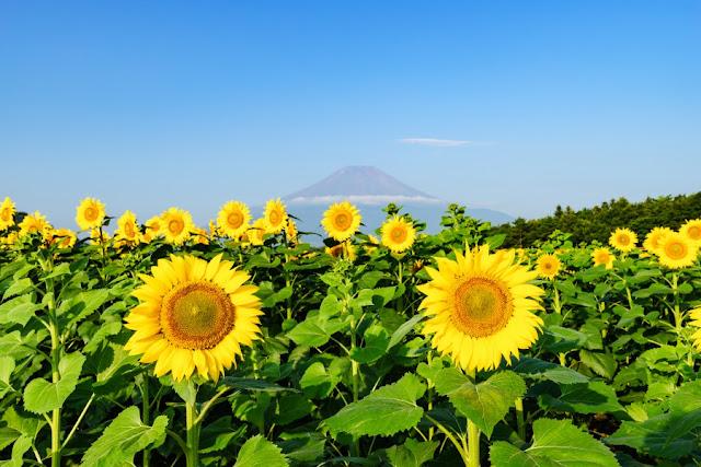 富士山とヒマワリ~花の都公園