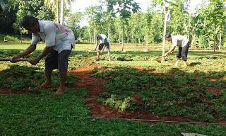 Jual Rumput Gajah Mini di Juanda,Tukang Rumput di Juanda