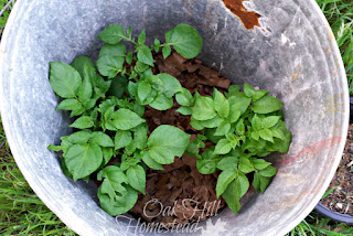 When the plants grow another six inches, add more soil up to the bottom of the leaves. How to grow potatoes in containers.