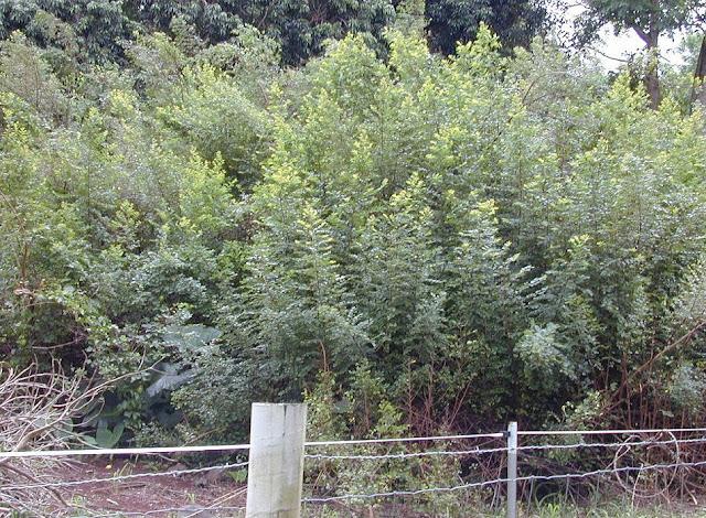 Bụi cây Bỏng Nổ - Fluggea virosa - Nguyên liệu làm thuốc Chữa Cảm Sốt