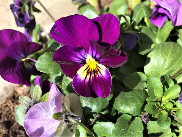 violette Stiefmütterchen