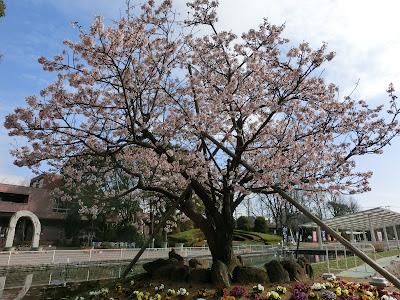 フラワーセンターの玉縄桜