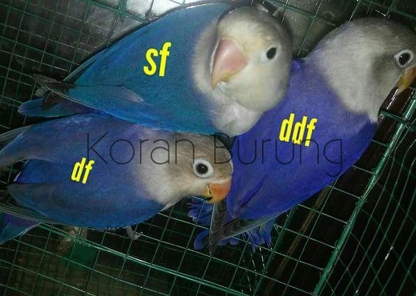 Perbedaan Warna Lovebird Biru Cobalt Biru Mangsi Violet Sf Violet Df Violet Ddf