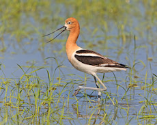 Shorebirds in Rice Country