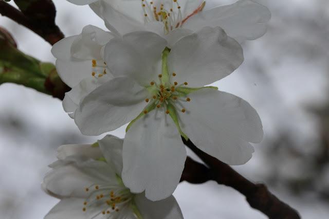 徳生公園の桜