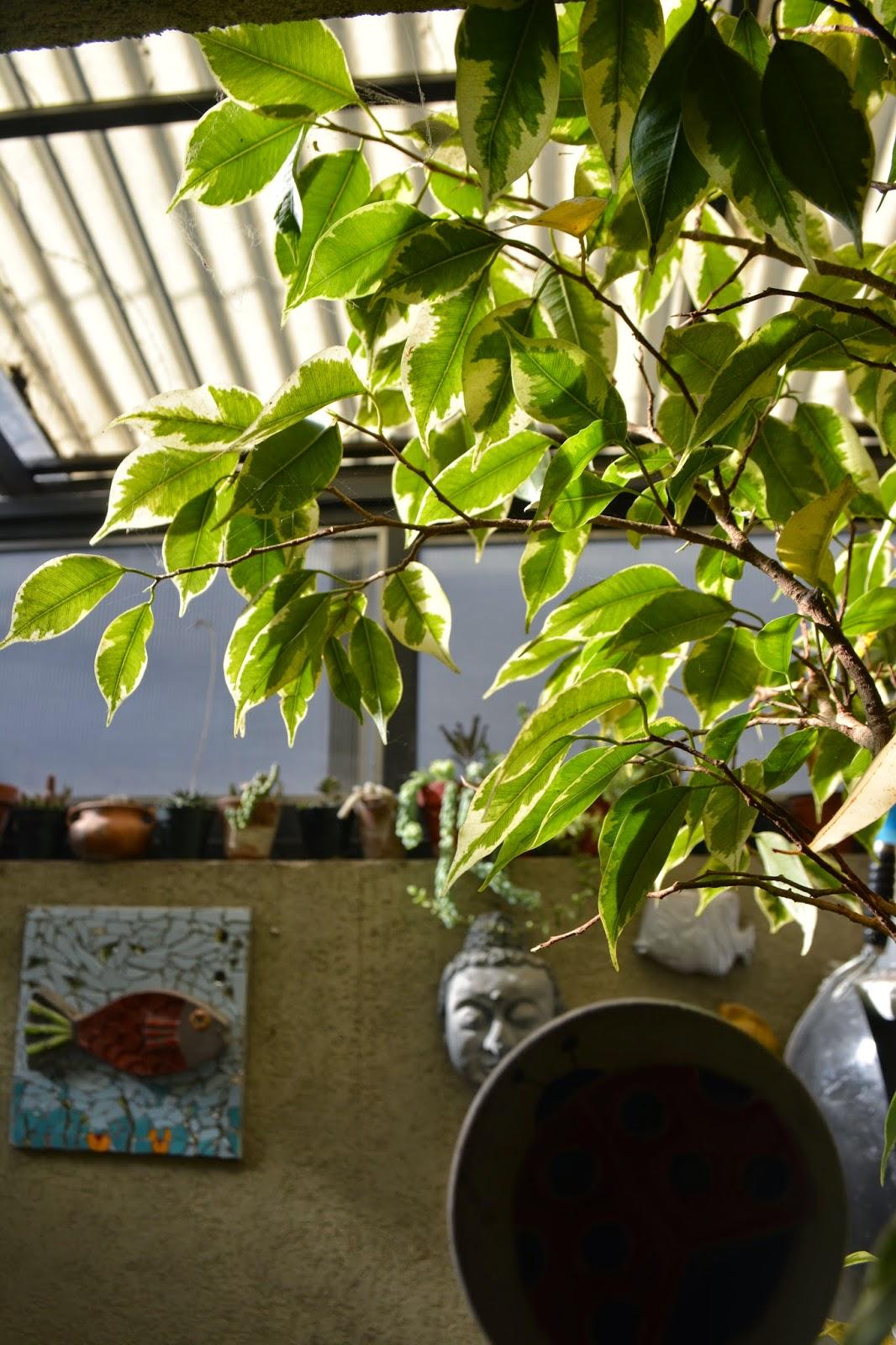 Ficus benjamina disciplinado