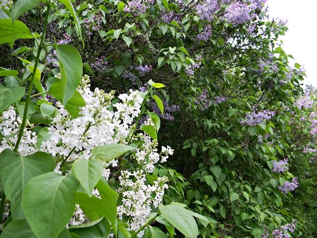 kwiat, maj, liście, lilaki